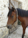 vikcy - French Trotter (6 years)
