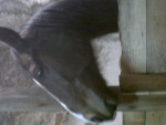 ogo magic - Male French Trotter (13 years)