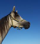 Ka Belite Roberta - Arabian Horse (3 years)