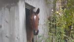 Arabian - Male Arabian Horse (15 years)