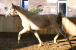 Baheya - Arabian Horse (20 years)