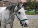 Eclair des Pins - Male Arabian Horse (13 years)