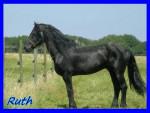 Ruth - Male Friesian Horse (8 years)