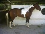 el pipo - Male American Paint Horse (2 years)
