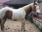 championhorse12 - American Paint Horse (11 years)