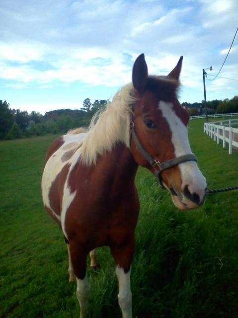 Abigale - American Paint Horse (9 years)