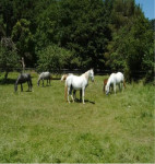 Nino - Male Lipizzan (8 years)