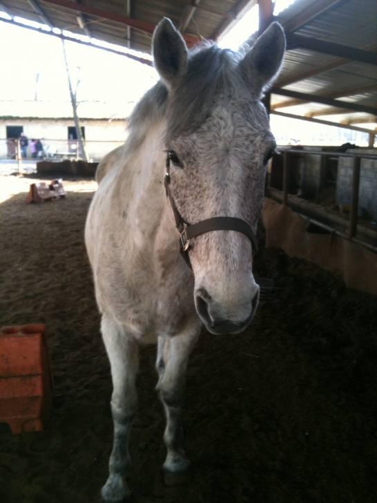 RockField Laura - Connemara Pony (11 years)