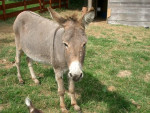 Grisette - Donkey (15 years)
