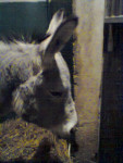Chonchon - Male Donkey
