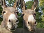 Percy - Male Donkey (2 years)