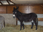 Ane - Male Grand noir du Berry Donkey (3 years)