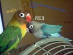 Perla y chunkito - Budgerigar (2 years)