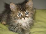 persan croisée angora turc/Foufy - Cat