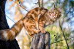 Un beau Maine Coon roux perché sur un tronc d'arbre