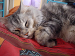 Chouchou - Male Cat (3 years)