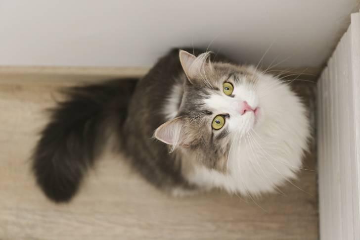 Un beau Sibérien blanc et gris aux yeux verts