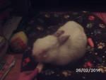 Boule De Neige quand il avait sa conjonctivite - Male Dwarf rabbit (9 years)