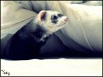 Tsuky - Ferret (4 years)