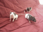 patate, titi et souzie - Mouse (3 years)