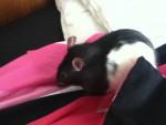 Léo - Male Rat (8 months)